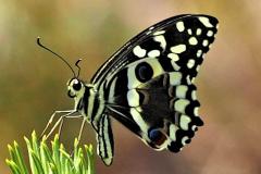 Papilio-demodocus-Citrus-Swallowtail-PB020676