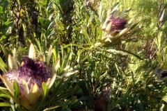 04_Protea-longifolia